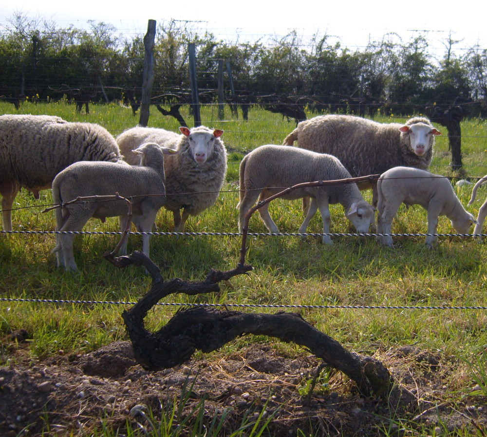 Sheep keeping the vineyards in check in the Médoc