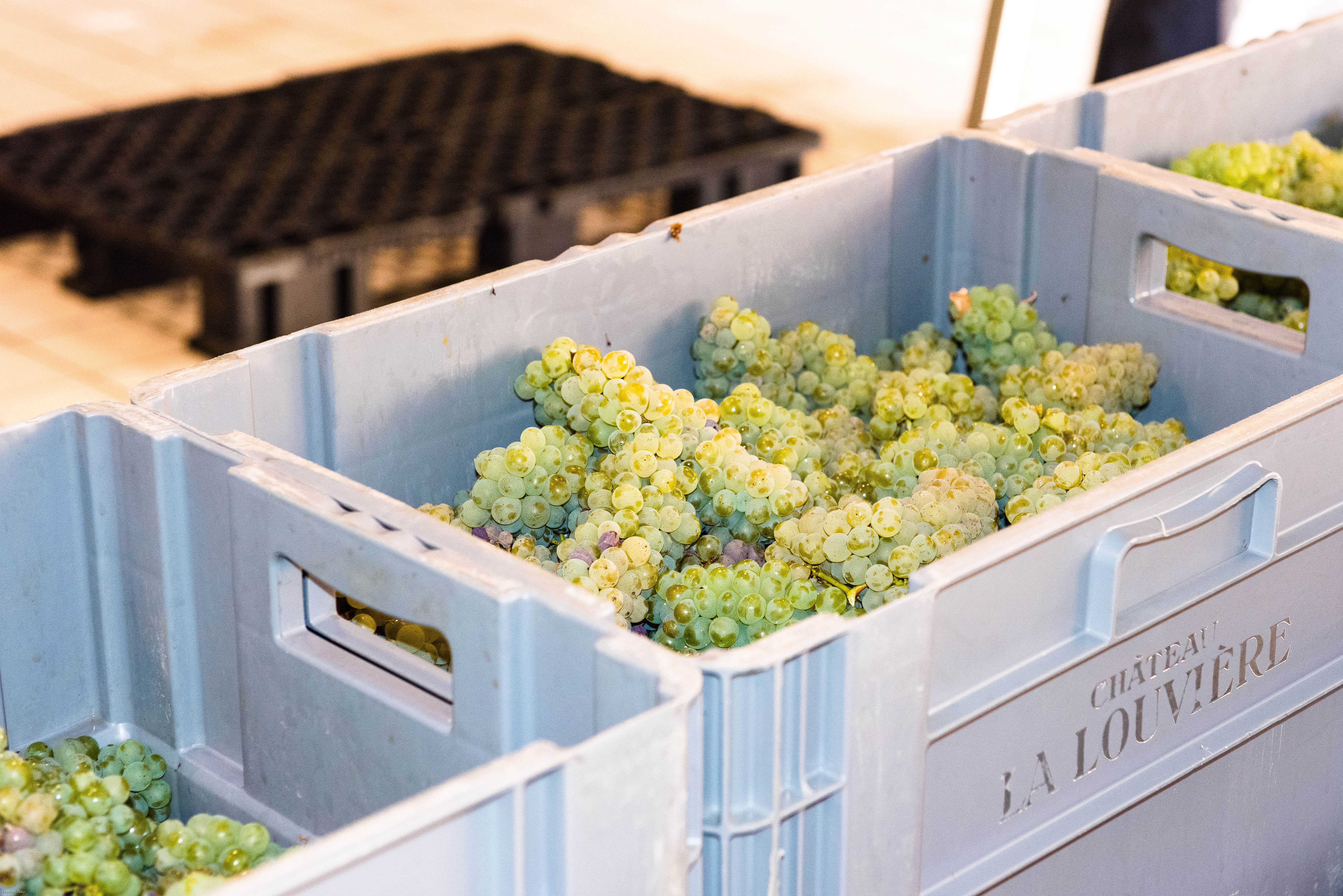 bordeaux_whitegrapes_harvest_experience_vendanges
