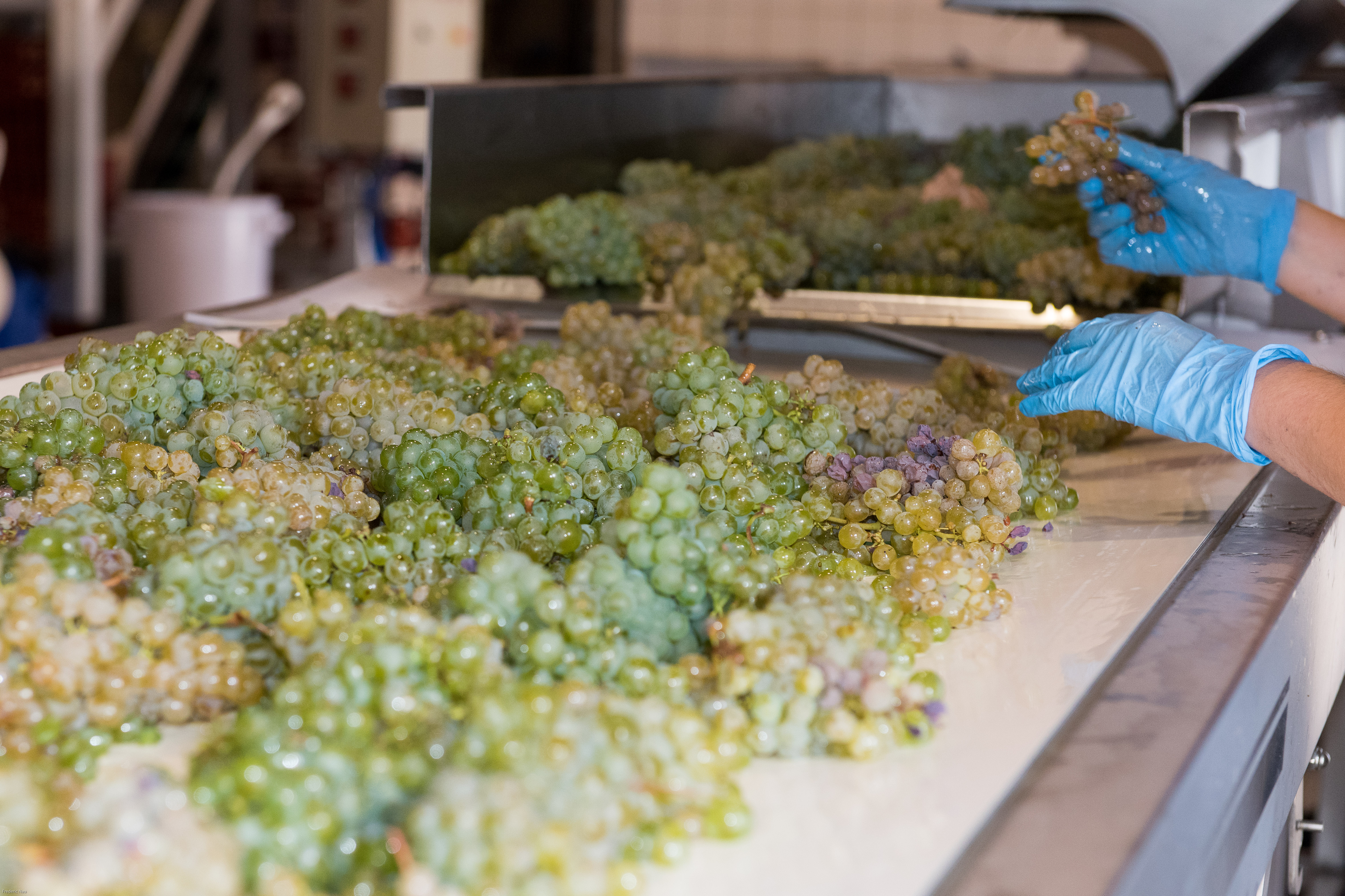 harvesting_picking_process_bordeaux_vendanges2019
