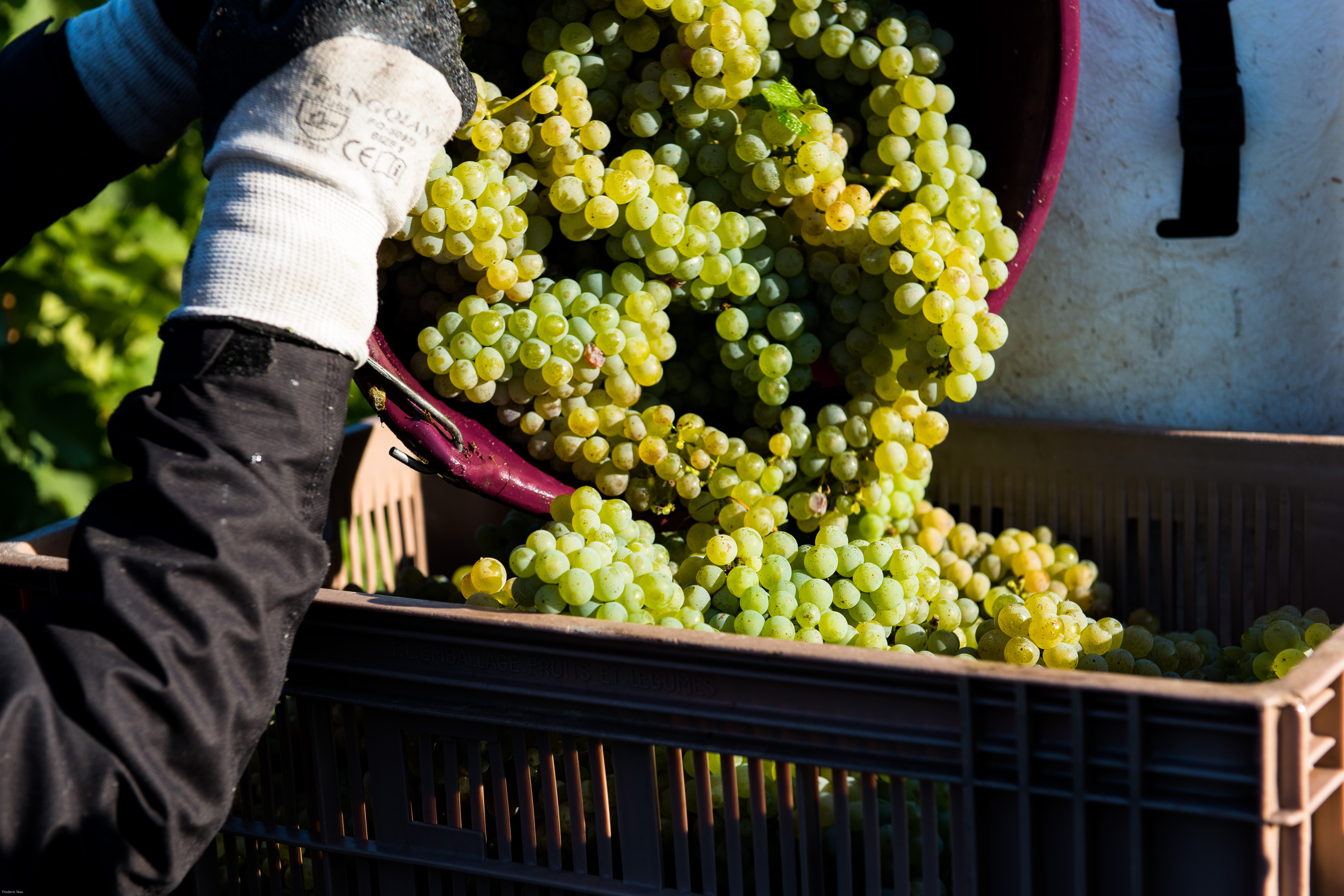 vendanges_blanc_whitegrape_harvest_bordeaux